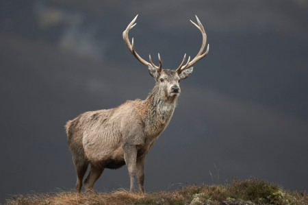 Red Deer from Rough Guides